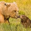 USA. Alaska. Coastal Brown Bear mother and cubs at Silver Salmon Creek, Lake Clark NP.