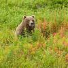 Alaska. Katmai NP. Coastal Brown Bear and fireweed.