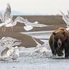 USA. Alaska. Coastal Brown Bear surrounded by Glacous-winged Gulls at Silver Salmon Creek, Lake Clark NP.