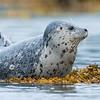 Alaska. Katmai NP. Harbor Seal.