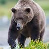 Alaska. Katmai NP. Coastal Brown Bear fishing for salmon.