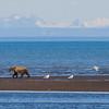 USA. Alaska. Coastal Brown Bear walks on the beach at Silver Salmon Creek in Lake Clark NP.