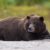 Alaska. Katmai NP. Coastal Brown Bear taking a break while fishing for salmon.