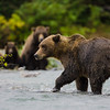 USA. Alaska. A coastal brown bear fishes for salmon in a glacial stream at Geographic Harbor in Katmai NP.