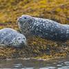 Alaska. Katmai NP. Harbor Seals.