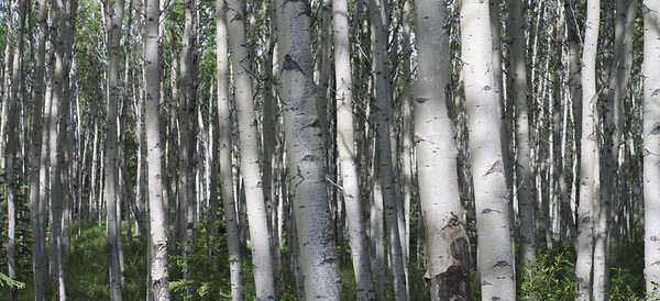 Dappled Aspens in Alberta