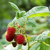The Raspberry Bush - July 28