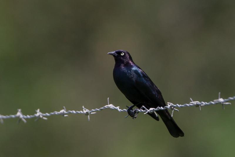 Brewer´s Blackbird
