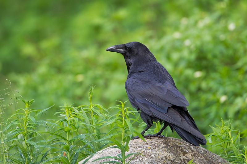 Commen Raven