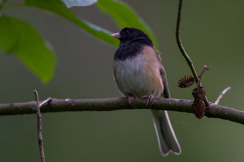 Darkeyed Junco
