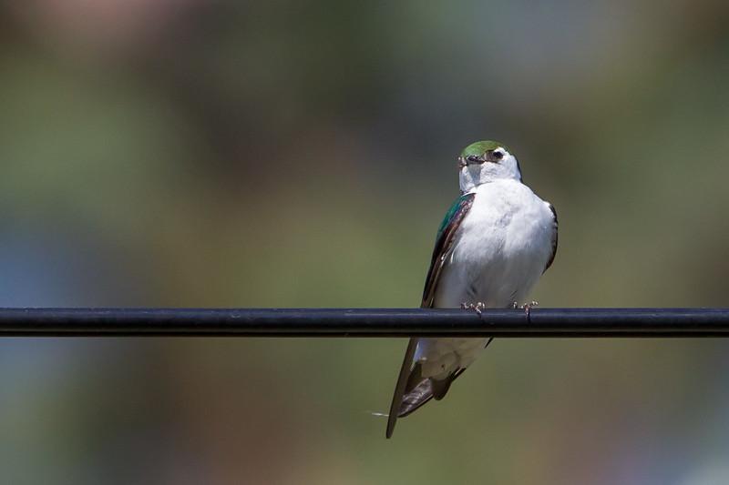Violetgreen Swallow