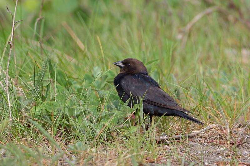 Brownheaded Cowbird