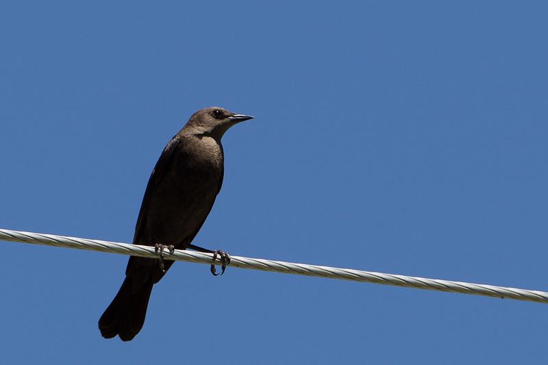Brewer´s Blackbird, hun