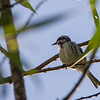 Blackthroated Gry Warbler