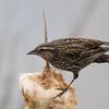 Red-winged Blackbird, hun