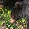 Sortbjørn