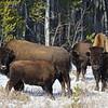 Wood bison juvenile nursing