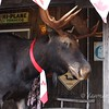 Young's General Store has a new moose.  7/12/2017