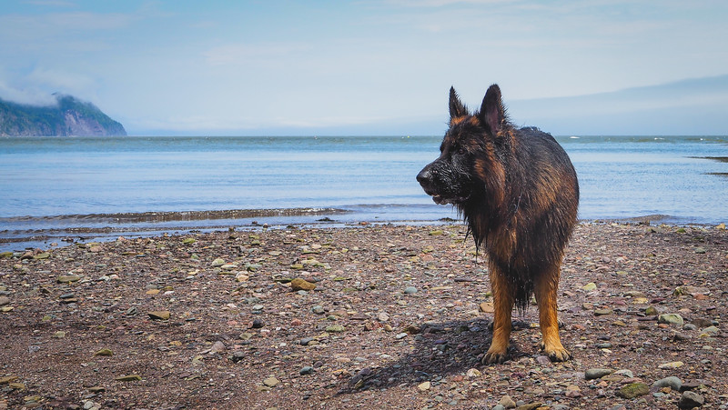Togo swimming in Herring Cove Beach in Fundy National Park