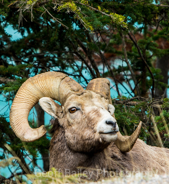 Big Horn Sheep 2