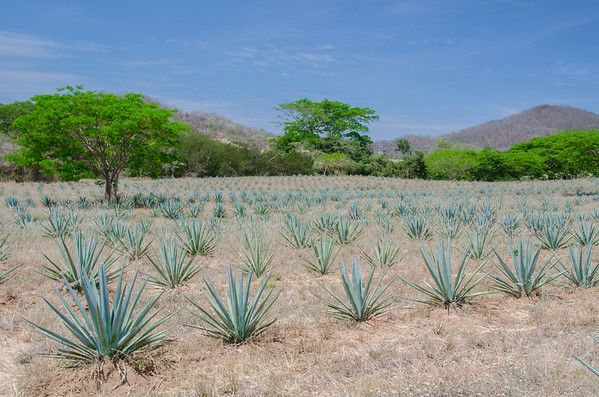 Blue agave fields at the Los Osuna Distillery in Mazatlan, Mexico