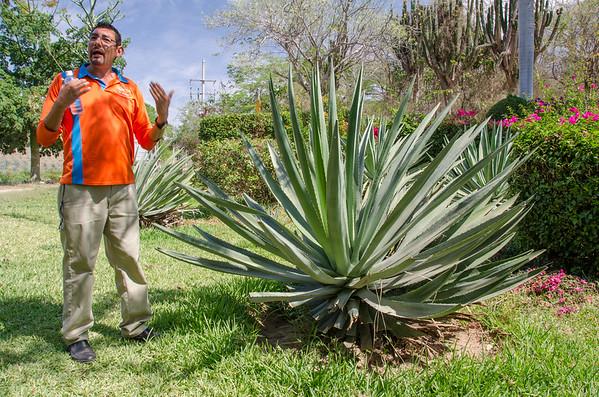 Agave plant at Vinata Los Osuna, Mazatlan | Tequila tasting in Mazatlan
