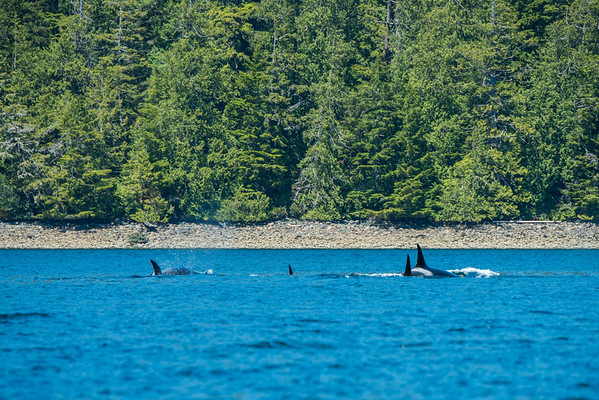 Orcas in the Clayoquot Sound   Wildlife tours in Tofino, BC