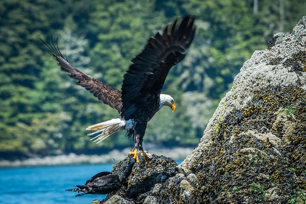 Bald eagle in Tofino, BC