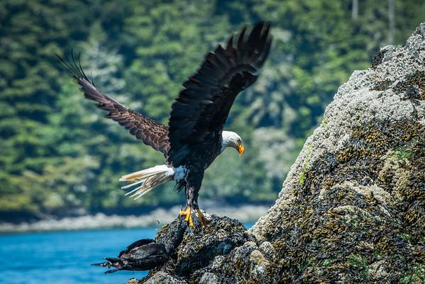 Bald eagle in Tofino, BC