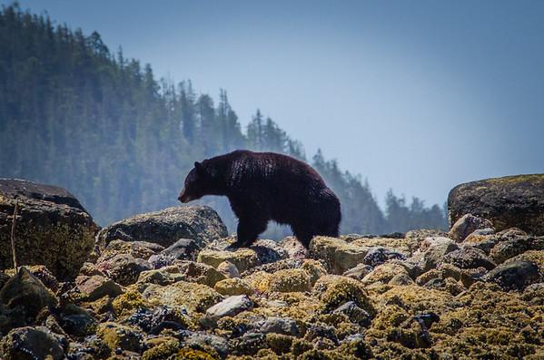 Black bear tour Tofino, BC