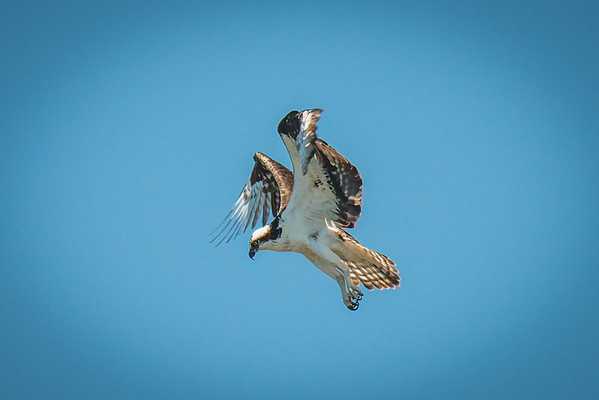 An osprey fishing in the Clayoquot Sound, Tofino, BC