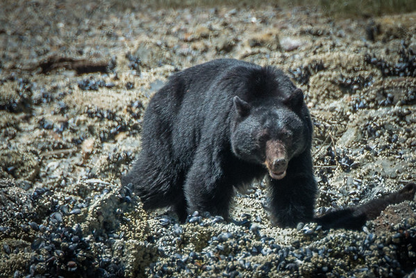 Black bear tour in the Clayoquot Sound - Tofino, BC