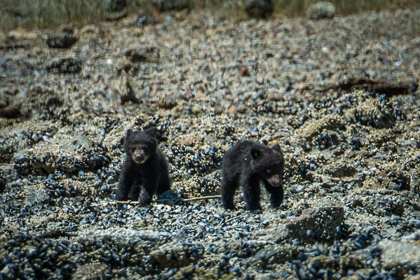 Black bear cubs - Bear watching tour in the Clayoquot Sound - Tofino, BC