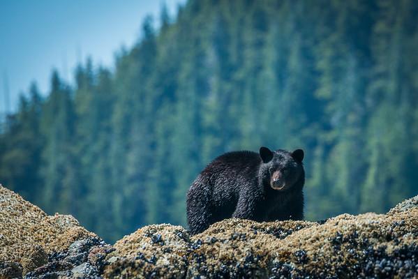 Black bear tour in the Clayoquot Sound - Tofino, BC