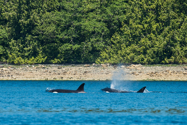 Orcas in the Clayoquot Sound | Wildlife tours in Tofino, BC