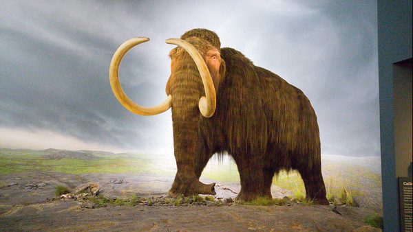 The Wooly Mammoth at The Royal BC Museum | Things to do in Victoria, BC