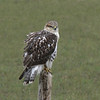 Ferruginous Hawk - largest hawk in North America
