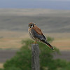 American Kestrel. We saw this one just outside the park entrance.