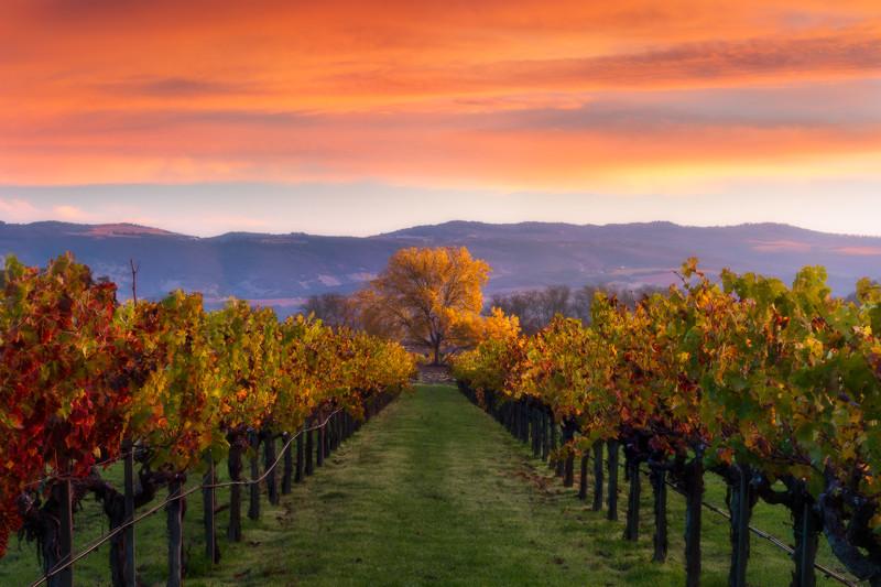 Kelham Vineyard , Napa Valley<br /> 3 image focus stack, taken with Nisi landscape CPL and 3 stop hard edged GND.