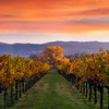 Kelham Vineyard , Napa Valley<br /> 3 image focus stack, taken with Nisi landscape CPL and 3 stop hard edged GND.