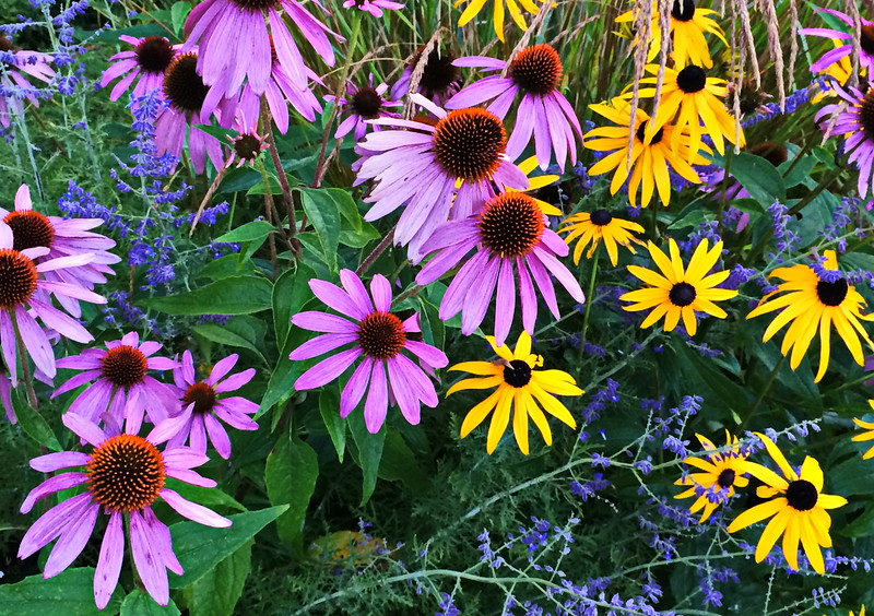 Pink Cone Flowers and Black-Eyed Susans