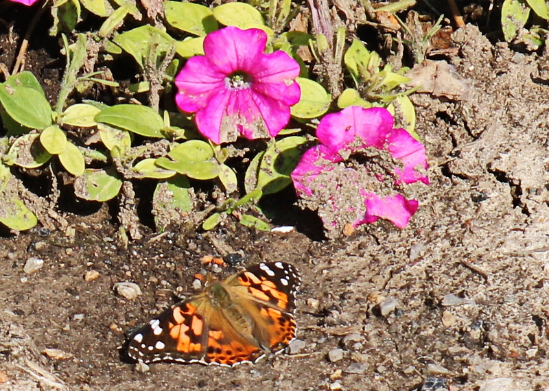 Painted Lady Butterfly and Pink Petunias