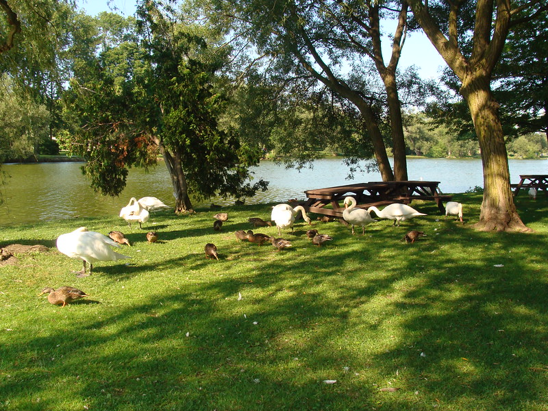 Swans and Ducks on the Avon River Bank