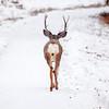Elk walking away in Banff