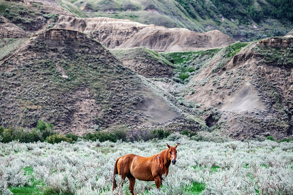 Horse in the Canadian Badlands in Alberta, Canada.