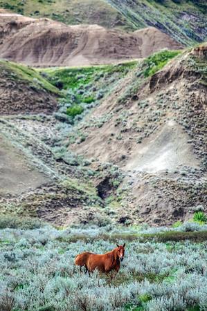 Horse in the Canadian Badlands in Alberta, Canada.