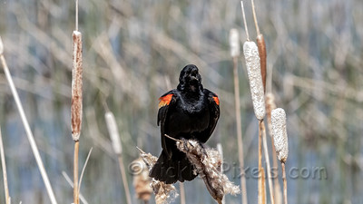 Song of the Red-winged Blackbird