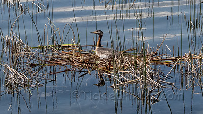 Red-necked Grebe Nesting on Elkwater Lake