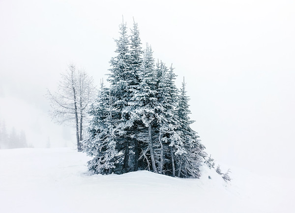 Trees during a snowfall at the Lake Louise Ski Resort