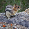 Golden-manteled Ground Squirrel